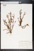 Image of Hypericum humifusum