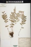 Image of Athyrium falcatum