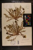 Image of Taraxacum dilatatum