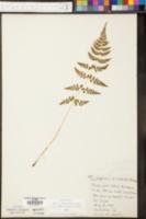 Cystopteris tenuis image