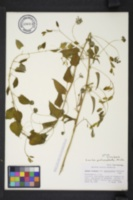 Smilax pulverulenta image