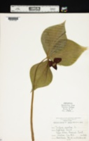 Trillium erectum var. vaseyi image