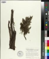 Image of Juniperus standleyi