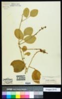Canavalia obtusifolia image