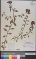 Ceratostigma willmottianum image