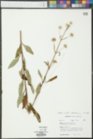 Hyptis alata image