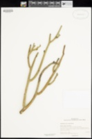 Euphorbia lomelii image