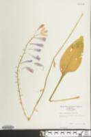 Hosta plantaginea image