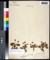 Viola sagittata var. ovata image
