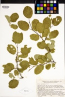 Prunus subcordata image