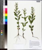 Scutellaria multiglandulosa image