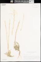 Arabis cusickii image
