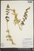 Lupinus albifrons image