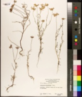 Image of Brachyscome iberidifolia