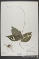 Tovara virginiana image
