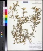 Image of Fumaria capreolata