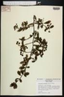 Pyracantha koidzumii image
