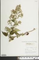 Image of Symphyotrichum lowrieanum