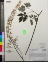 Image of Actaea racemosa