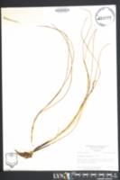 Image of Triglochin striata