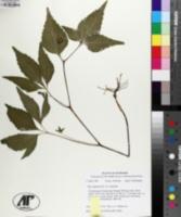 Viola tripartita var. tripartita image
