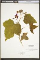 Rubus odoratus image
