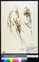 Galium labradoricum image