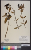 Image of Asclepias laxiflora