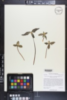 Trillium pusillum var. monticulum image