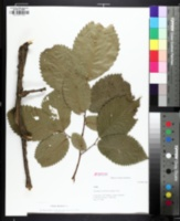 Image of Ulmus thomasii