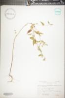 Scutellaria lateriflora image