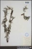 Utricularia foliosa image