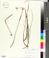 Zephyranthes candida image