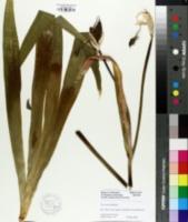 Iris tectorum image