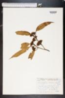 Eucalyptus oleosa image