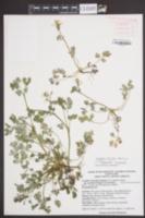 Corydalis flavula image