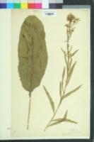 Armoracia rusticana image