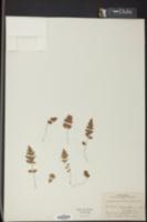 Image of Tectaria coriandrifolia