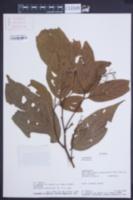 Image of Nectandra acutifolia
