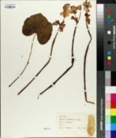 Image of Begonia octopetala