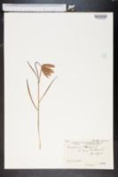 Image of Fritillaria meleagris