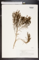 Image of Plocama pendula
