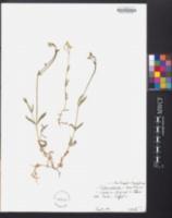 Stellaria graminea image