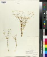 Linanthus filipes image
