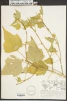 Anoda cristata image