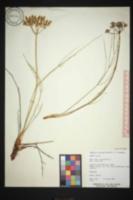 Lomatium junceum image