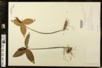 Image of Trillium lanceolatum