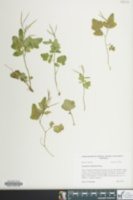 Image of Cardamine clematitis