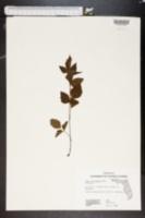 Image of Rubus procumbens