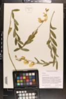 Crotalaria juncea image